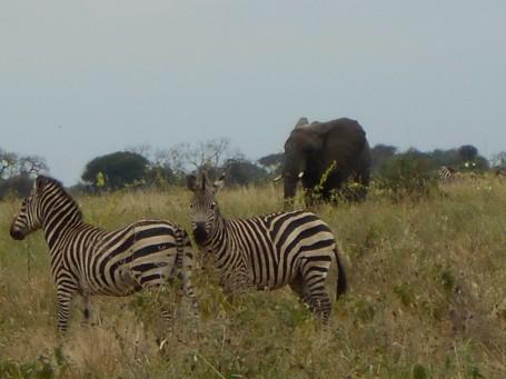 elefante-zebra